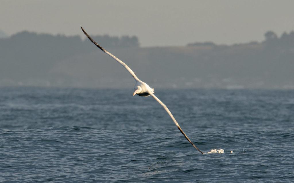 le vol de l'albatros, dans le nouvel article du bird-blog d'une histoire de plumes