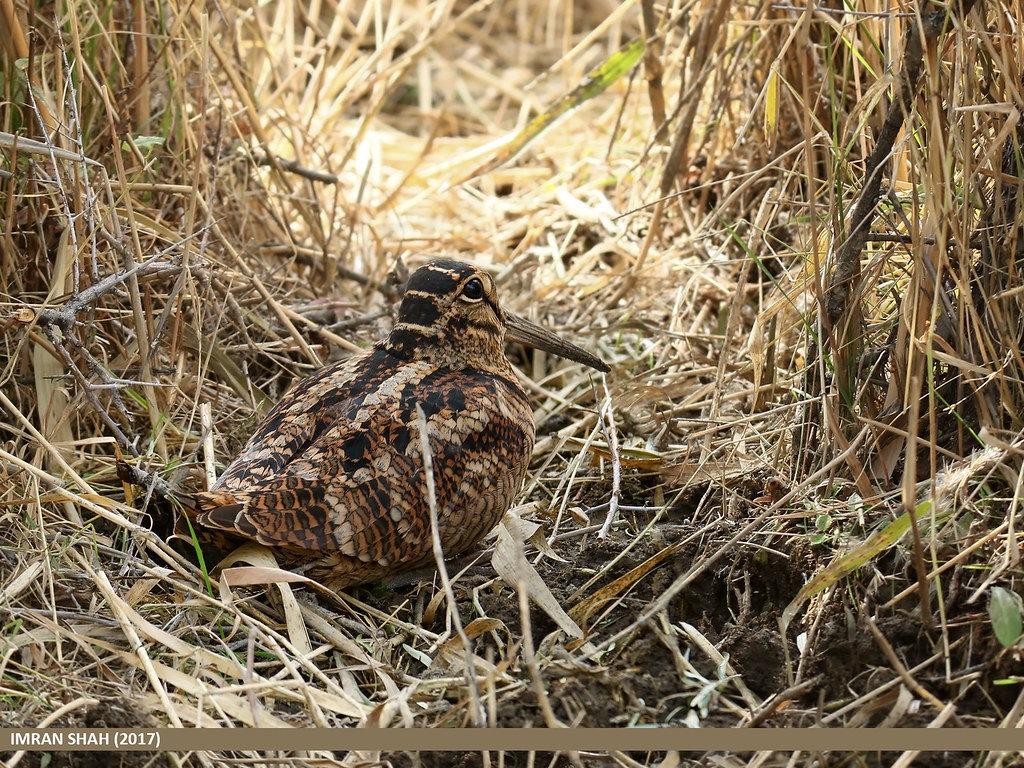 La Bécasse des bois, un étonnant papa oiseau décrit dans le nouvel article du Bird-Blog d'Une histoire de plumes