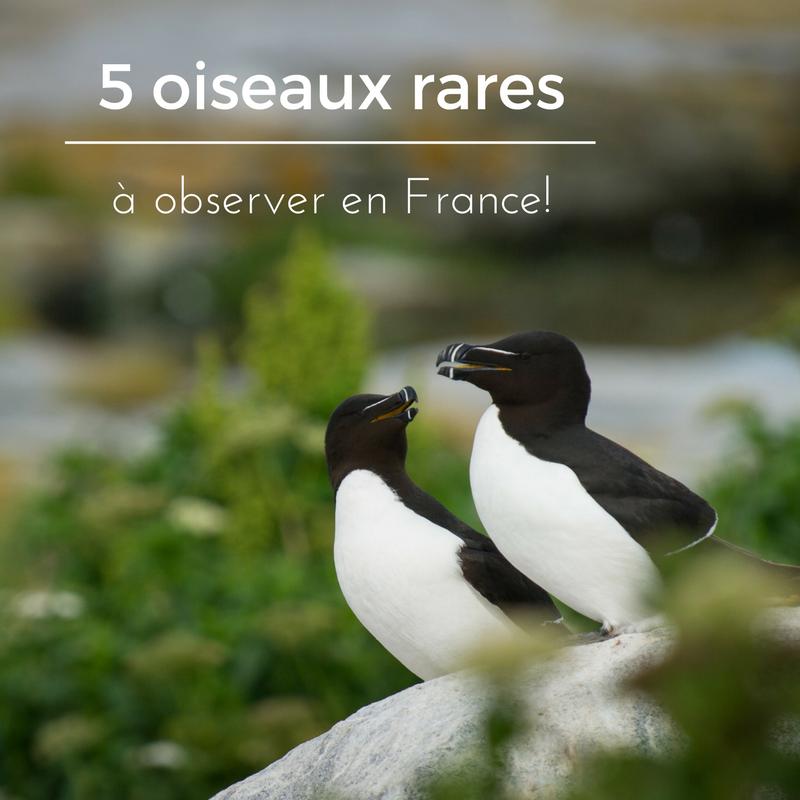 5 oiseaux rares à observer en France