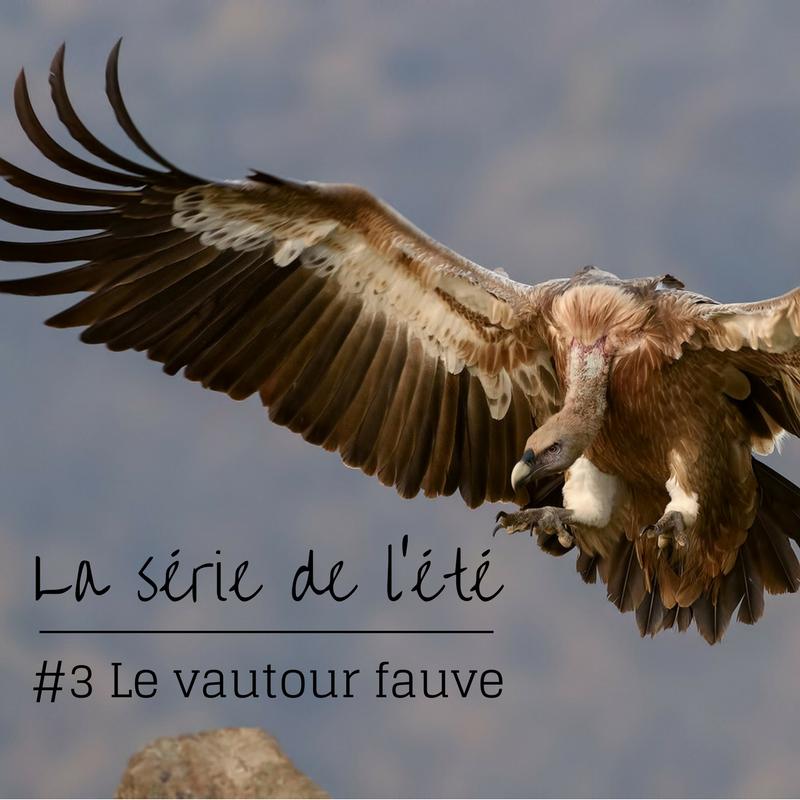 la série de l'été: le vautour fauve