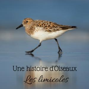 Une histoire d'oiseaux: les limicoles