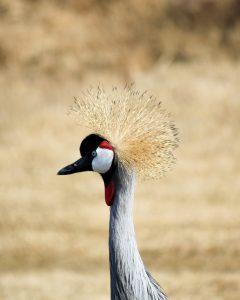 Dans ce numéro d'Une histoire d'Oiseaux, intéressons-nous à la famille des Grues, dont fait partie la très connue Grue cendrée