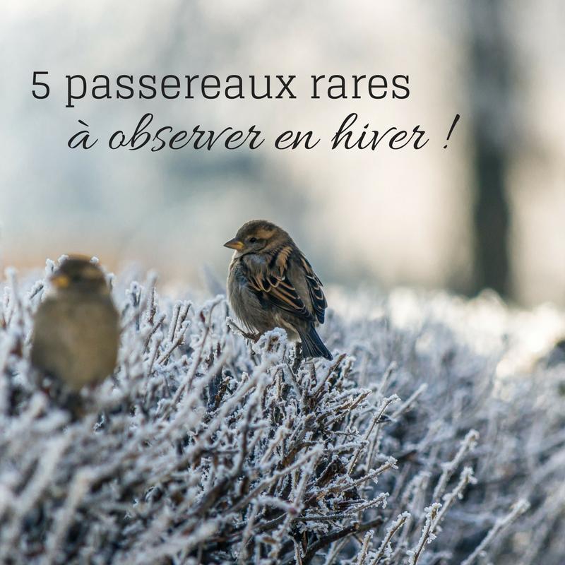 5 passereaux rares à observer durant l'hiver