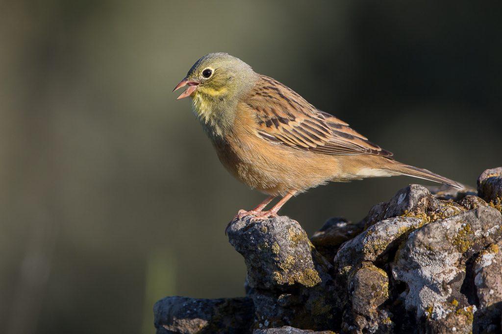 Focus sur le braconnage d'un oiseau protégé: le Bruant ortolan