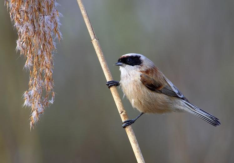 La Rémiz penduline, un passereau à observer en hiver en France!