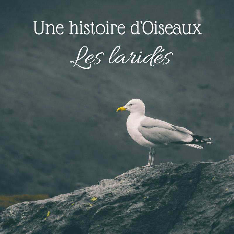 Nouvel article sur le Bird-Blog d'Une histoire de plumes! Intéressons-nous à la famille des mouettes, des goélands et des sternes: les laridés.