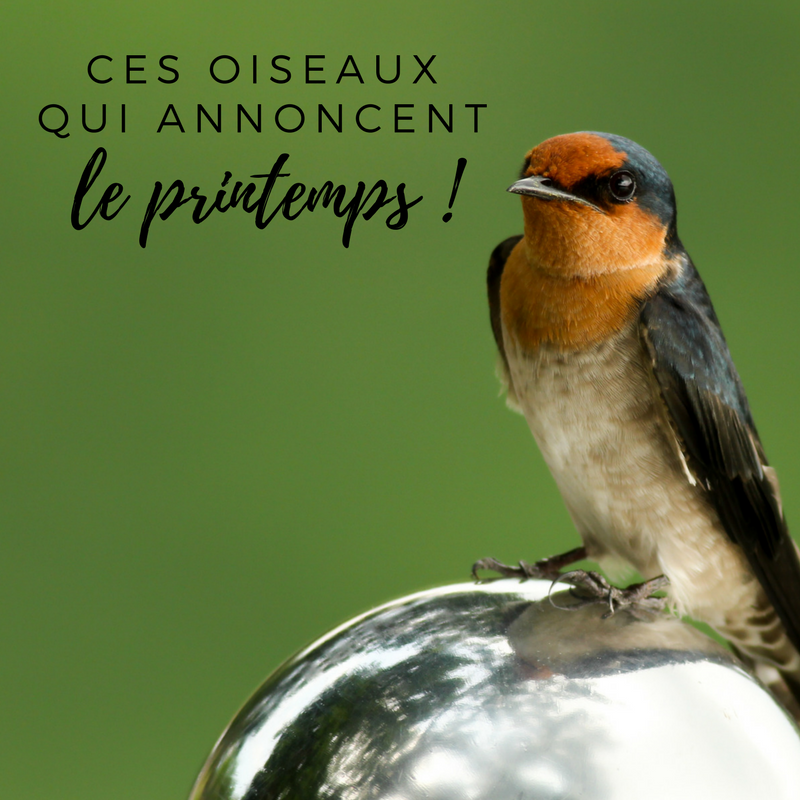 Découvrez avec le Bird-Blog d'Une histoire de plumes des oiseaux migrateurs emblématiques qui nous annoncent le retour du printemps