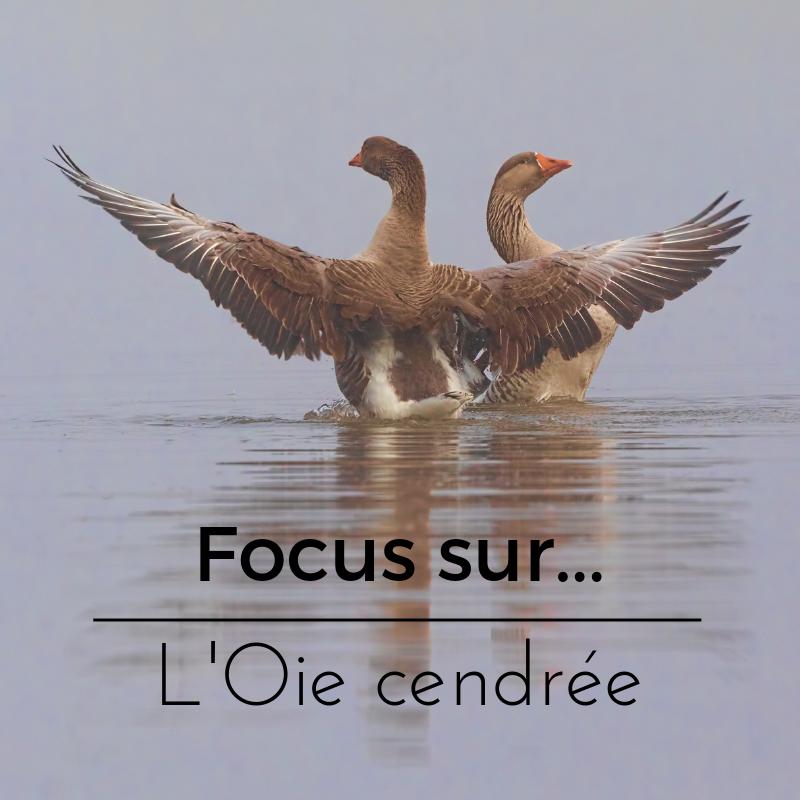 Focus sur L'Oie cendrée, un article du bird-blog d'une histoire de plumes