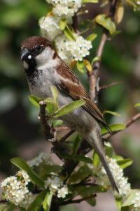Découvrez Une histoire d'oiseaux_ les moineaux un nouvel article du Bird-Blog d'une histoire de plumes