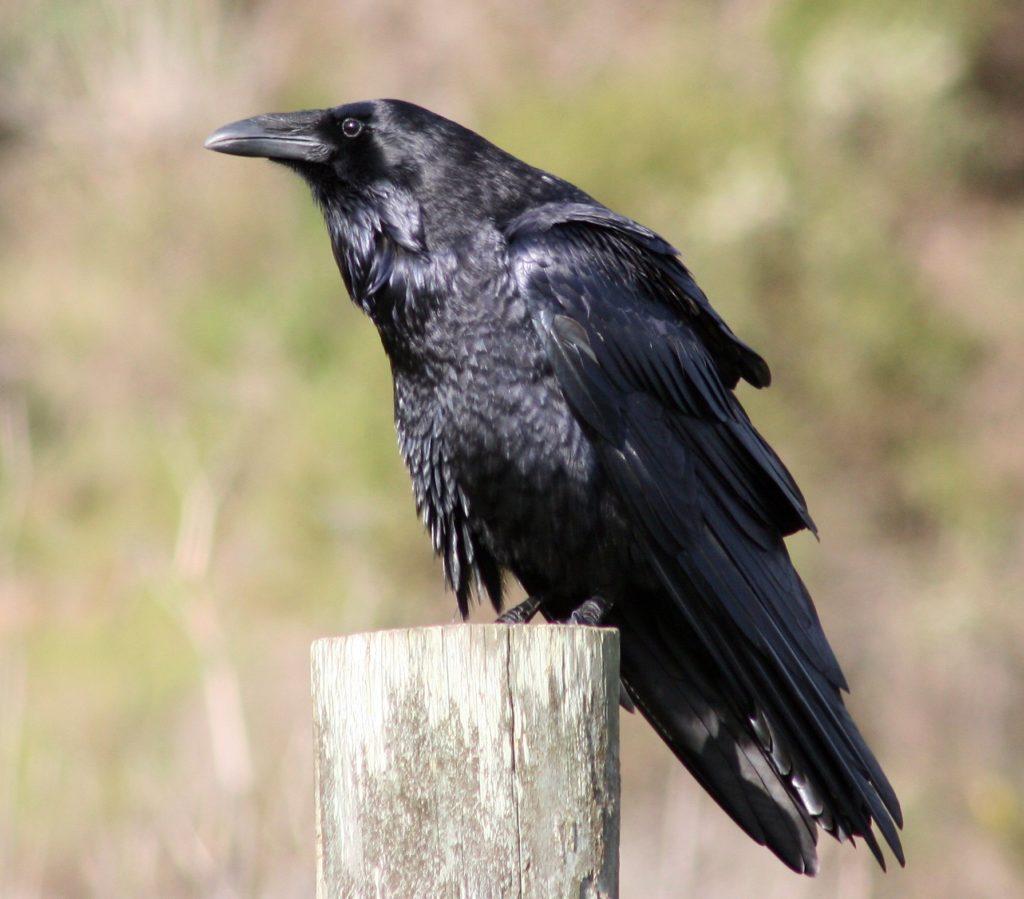 apprendre à faire la différence entre le grand corbeau et la corneille noire, un article du bird-blog d'une histoire de plumes