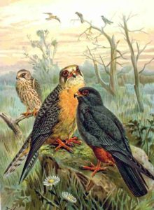 le faucon kobez, l'un des 4 oiseaux rares à observer en migration, le nouvel article du Bird-Blog d'Une histoire de plumes