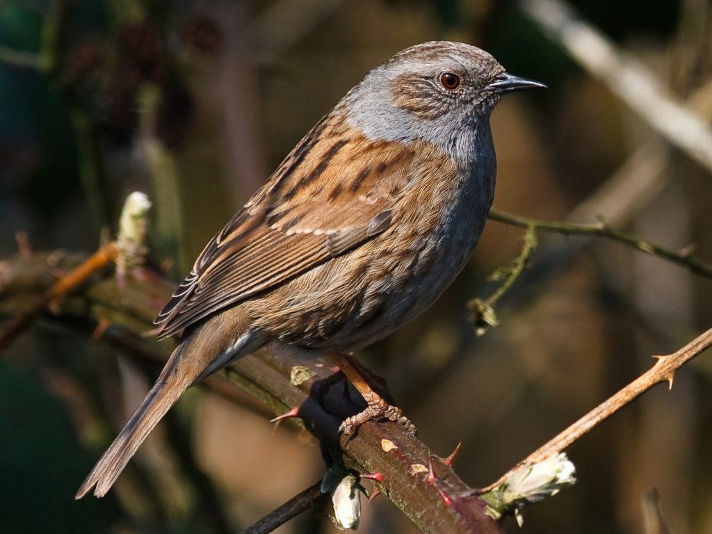apprendre à faire la différence entre l'accenteur mouchet et le moineau domestique, un article du bird-blog d'une histoire de plumes