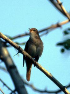Une histoire d'oiseaux, le rossignol philomèle et ses cousins, un nouvel article du birdblog d'Une histoire de plumes
