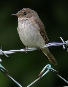 Une histoire d'oiseaux, le gobemouche gris et ses cousins, un nouvel article du birdblog d'Une histoire de plumes