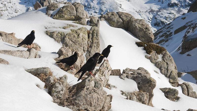 Le chocard à bec jaune, l'un des 5 oiseaux à observer en montagne - le birdblog d'une histoire de plumes