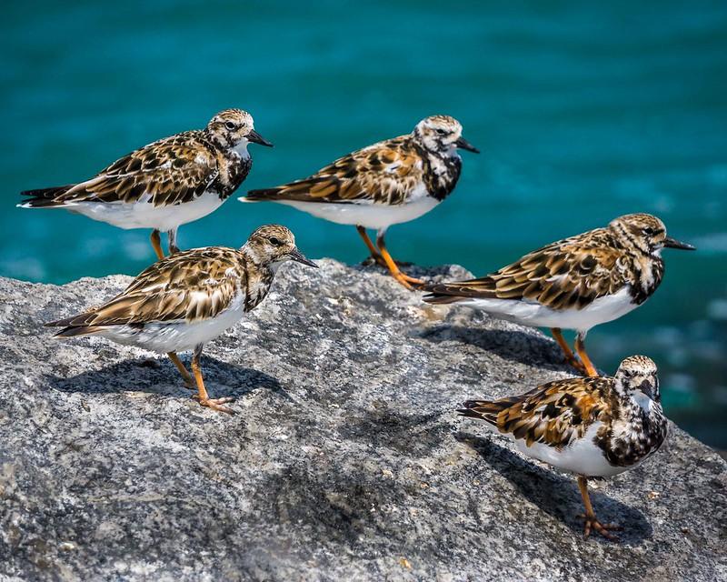 Le Tournepierre à collier, l'un des 5 oiseaux à observer en bord de mer - le birdblog d'une histoire de plumes