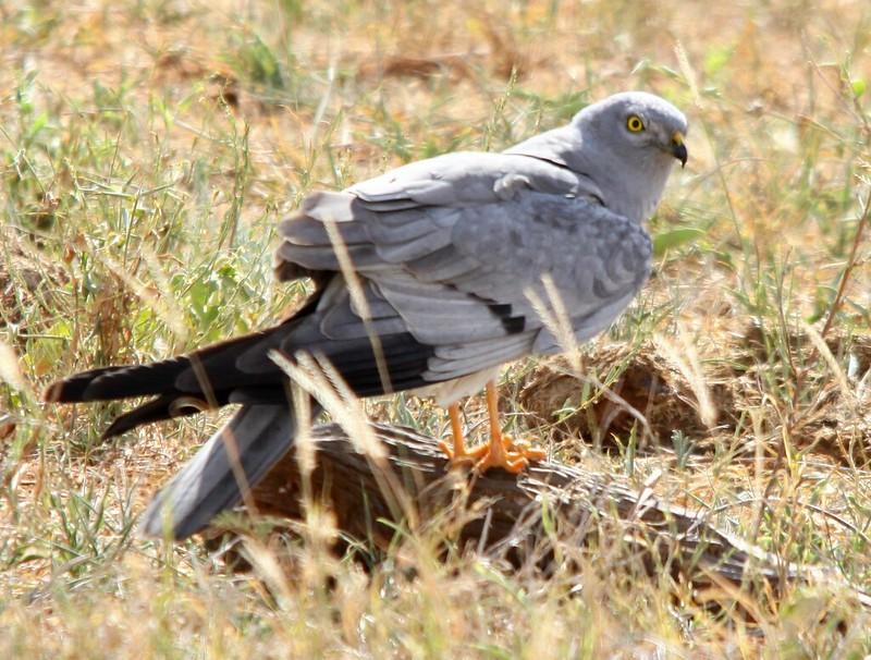 Le Busard cendré, l'un des 5 oiseaux à observer à la campagne - le birdblog d'une histoire de plumes