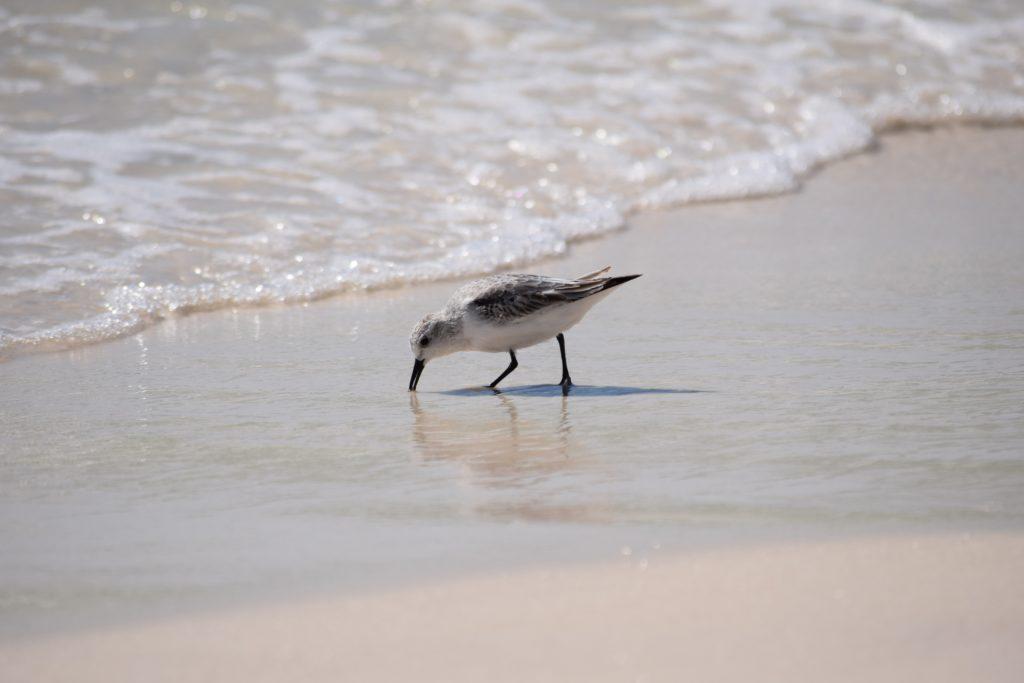 Le Bécasseau sanderling, l'un des 5 oiseaux à observer en bord de mer - le birdblog d'une histoire de plumes