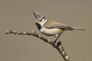 La mésange huppée, l'une des mésanges présentées dans Une histoire d'Oiseaux, le nouvel article du bird-blog d'une histoire de plumes