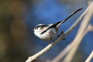 L'Orite à longue queue, l'un des oiseaux présentés dans Une histoire d'Oiseaux, le nouvel article du bird-blog d'une histoire de plumes