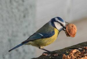 La mésange bleue, l'une des mésanges présentées dans Une histoire d'Oiseaux, le nouvel article du bird-blog d'une histoire de plumes