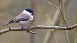 La mésange nonnette, l'une des mésanges présentées dans Une histoire d'Oiseaux, le nouvel article du bird-blog d'une histoire de plumes