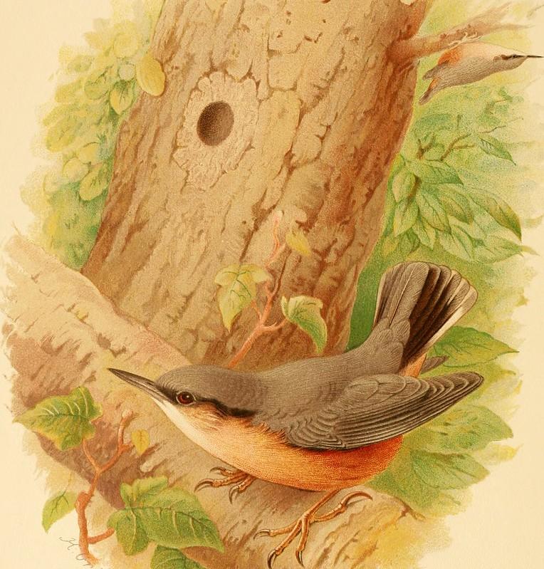 La Sitelle kabyle,, un oiseau menacé sujet du dernier article du bird-blog d'une histoire de plumes