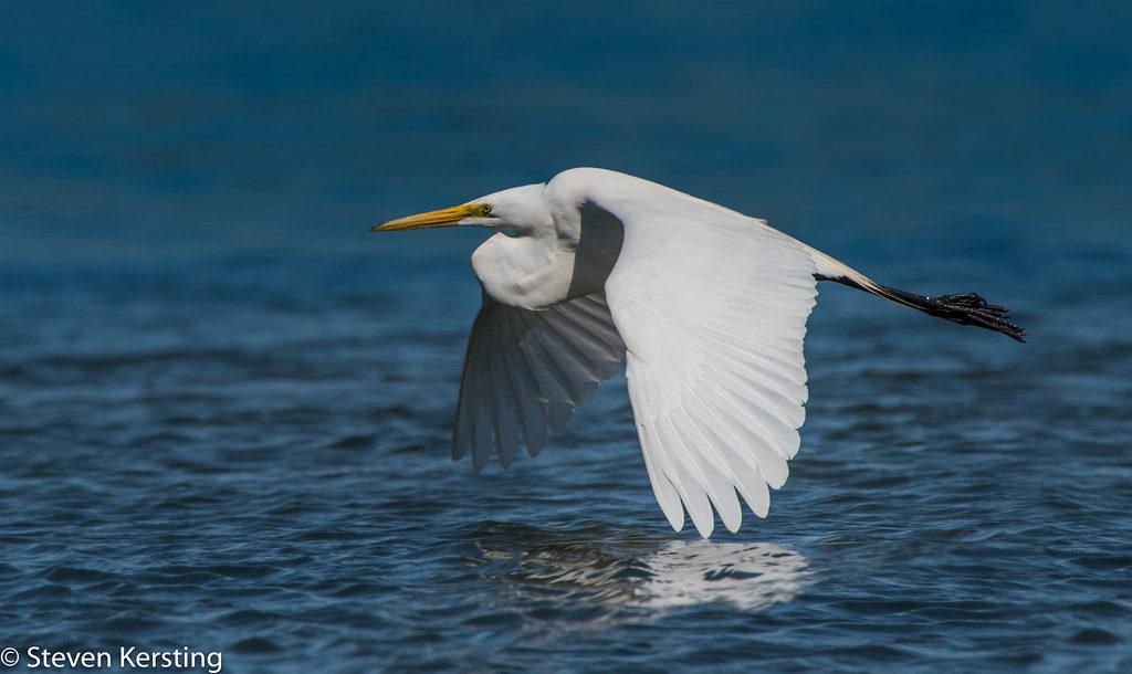 La Grande Aigrette, un ardéidé que l'on peut observer en hiver, sujet du nouvel article du bird-blog d'une histoire de plumes