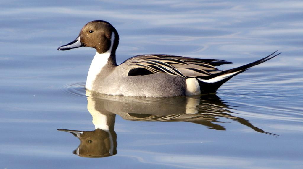Le canard pilet, un anatidé que l'on peut observer en hiver, sujet du nouvel article du bird-blog d'une histoire de plumes