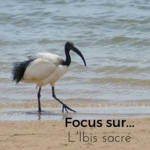 Focus sur...L'Ibis sacré, nouvel article du Bird-Blog d'Une histoire de plumes