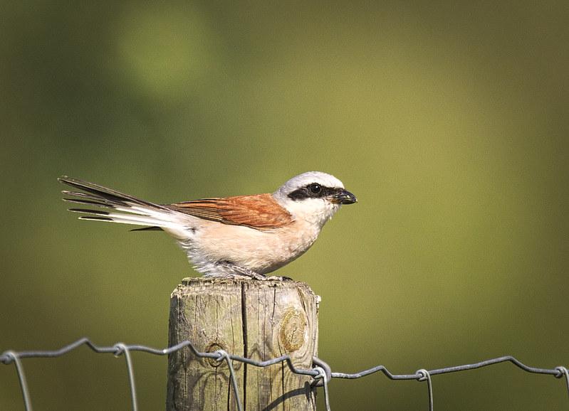 La Pie-grièche écorcheur, sujet du dernier article du bird-blog d'Une histoire de plumes