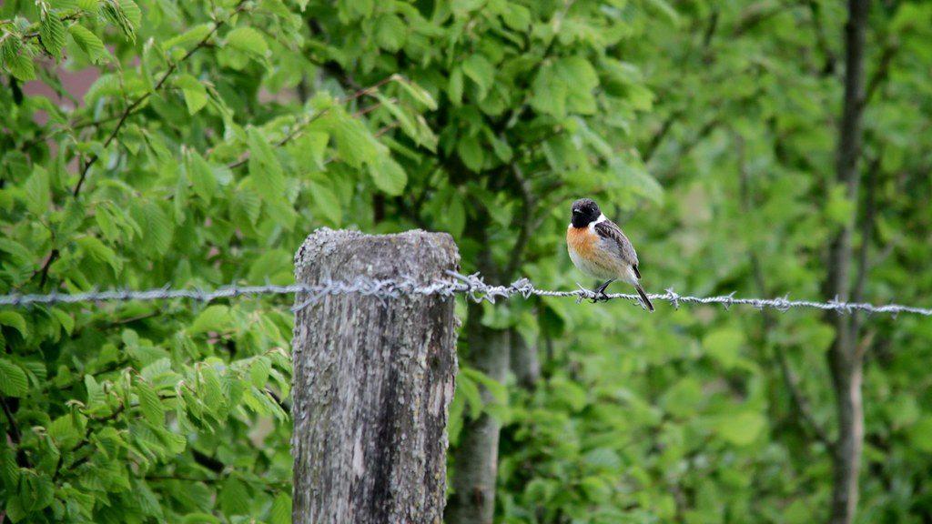 le Tarier pâtre, sujet du dernier article du bird-blog d'une histoire de plumes