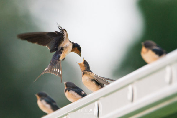 l'Hirondelle rustique, sujet du dernier article du bird-blog d'une histoire de plumes