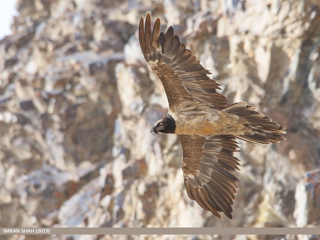 Le poussin de Gypaète barbu, sujet du dernier article du bird-blog d'une histoire de plumes