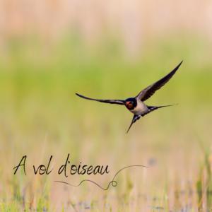 Le vol des oiseaux, sujet du nouvel article du bird-blog d'une histoire de plumes