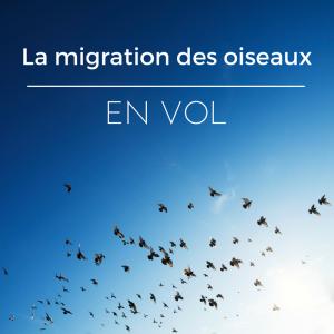la migration des oiseaux - comment volent les oiseaux durant la migration