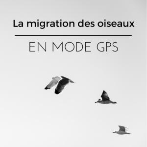 l'orientation des oiseaux durant la migration