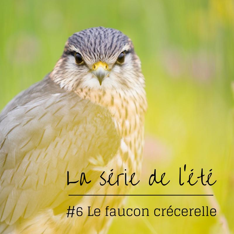 la série de l'été: le faucon crécerelle