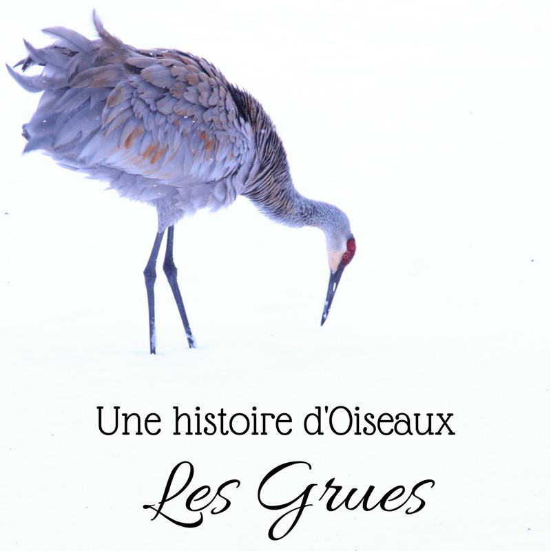 Dans ce nouveau numéro d'une histoire d'oiseaux, partons à la découverte d'oiseaux étonnants: les grues!