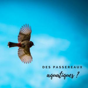 Jour 13 du calendrier de l'avent d'une histoire de plumes: Existe-t-il des passereaux aquatiques?