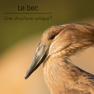 Jour 3 du calendrier de l'avent d'une histoire de plumes: le bec est une structure unique