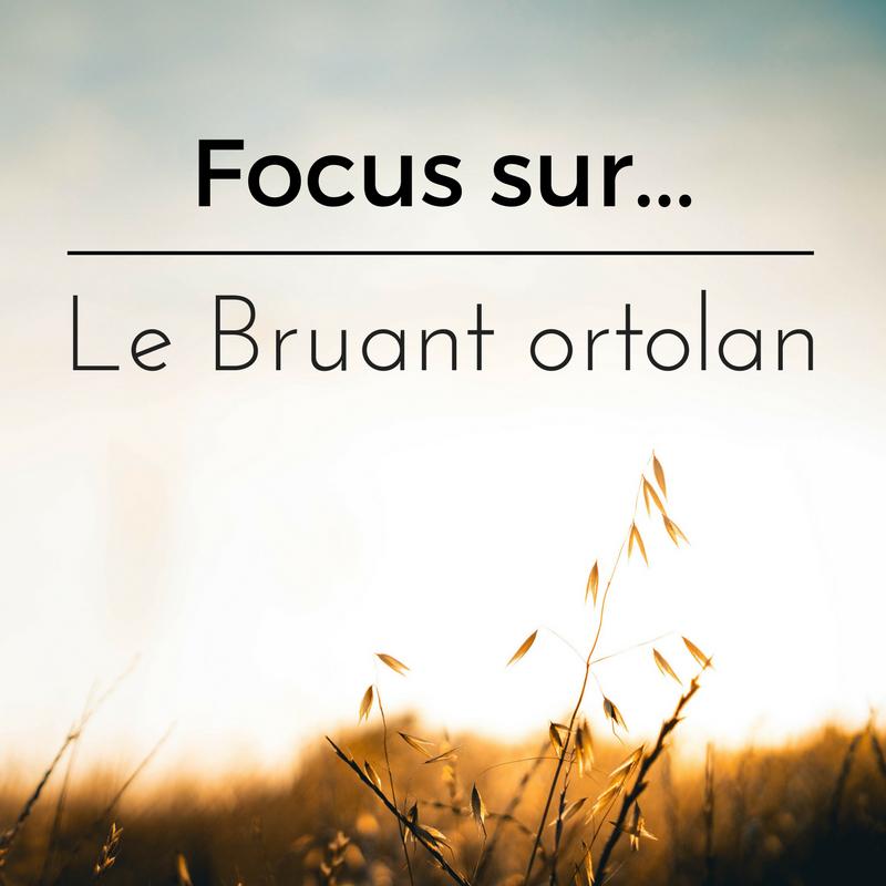 Focus sur le braconnage du bruant ortolan