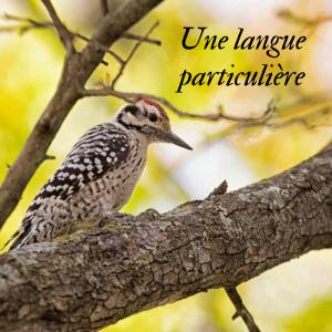 Jour 14 du calendrier de l'avent d'une histoire de plumes: qu'a de si particulier la langue des pics?