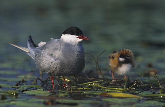"""La guifette moustac, un oiseau de la famille des Laridés, sujet de l'article """"Une histoire d'Oiseaux"""" du Bird-Blog d'Une histoire de plumes"""