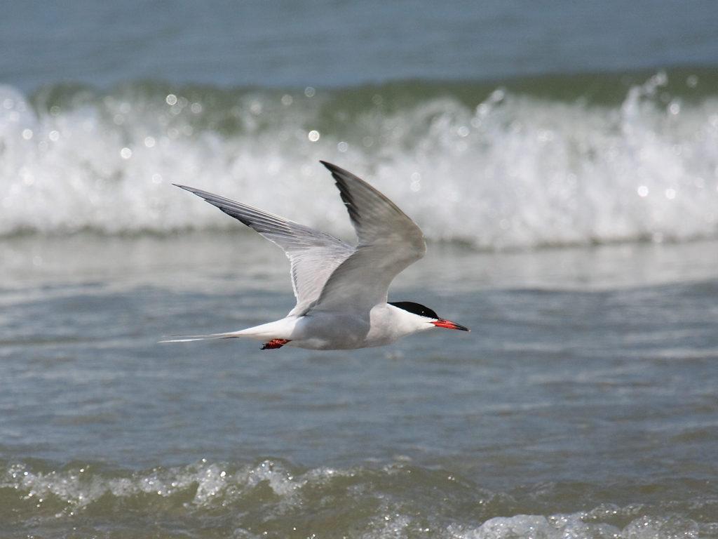 """La sterne pierregarin, un oiseau de la famille des Laridés, sujet de l'article """"Une histoire d'Oiseaux"""" du Bird-Blog d'Une histoire de plumes"""