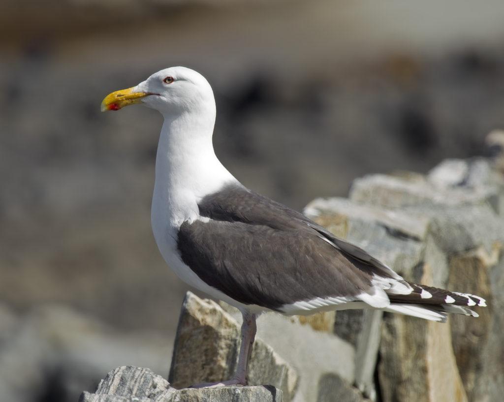 """Le goéland marin, un oiseau de la famille des Laridés, sujet de l'article """"Une histoire d'Oiseaux"""" du Bird-Blog d'Une histoire de plumes"""