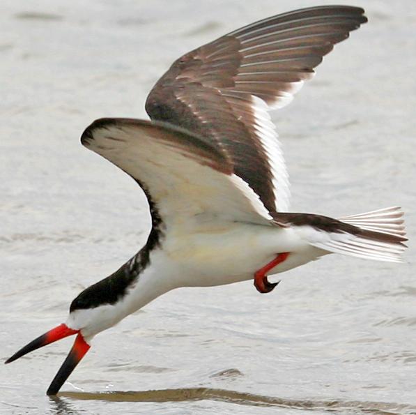 """Le bec-en-ciseaux noir, un oiseau de la famille des Laridés, sujet de l'article """"Une histoire d'Oiseaux"""" du Bird-Blog d'Une histoire de plumes"""