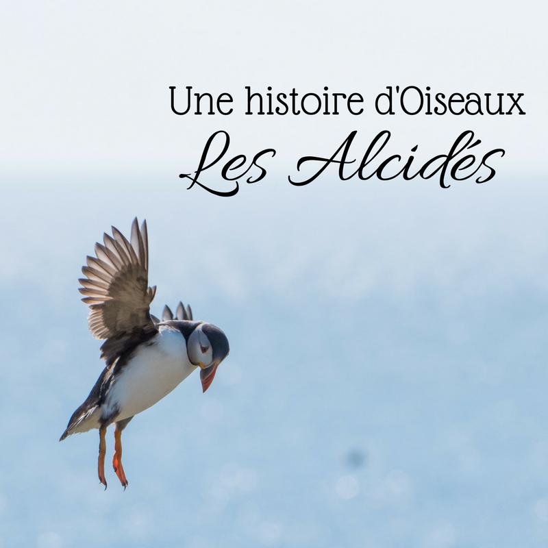 Découvrez les alcidés dans le nouvel article du bird-blog, le blog d'Une histoire de plumes