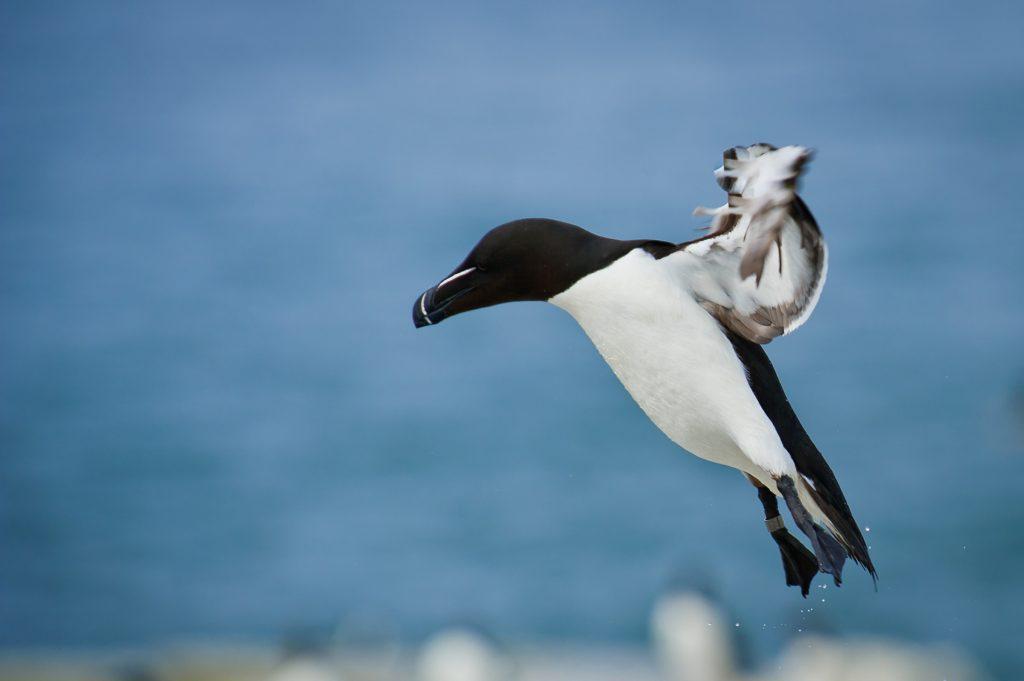 Le pingouin torda, un alcidé présenté dans notre article du Bird-Blog d'une histoire de plumes