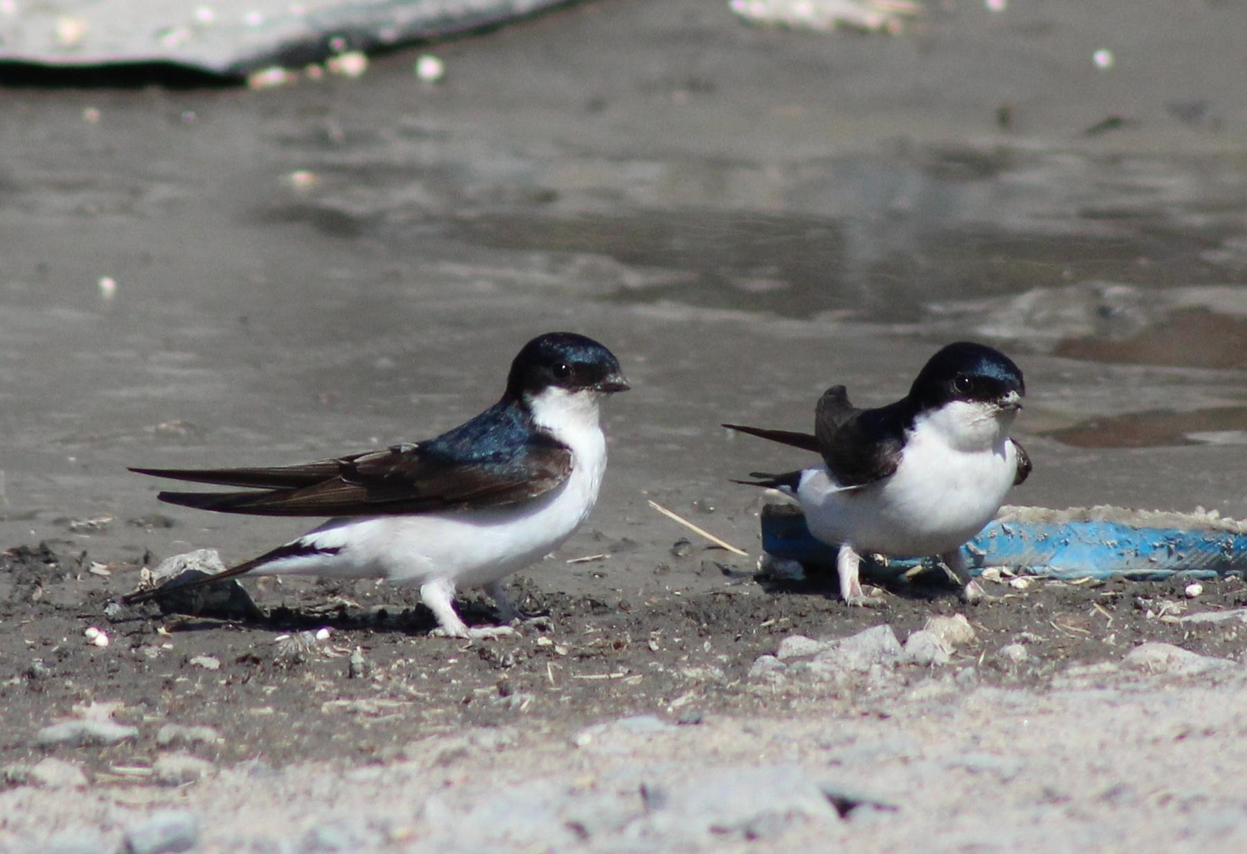 Découvrez notre article sur l'hirondelle de fenêtre dans le Bird-Blog d'Une histoire de plumes